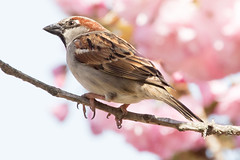 Male House Sparrow in a Kwanzan Cherry Tree-17 (Scott Alan McClurg) Tags: aves flickr pdomesticus passer passeridae passeriformes animal back backyard bird bloom blossom cherry cherrytree flickrbirds flower forest house housesparrow life nature naturephotography neighborhood perch perching portrait songbird sparrow spring storm suburbs tree urban wild wildlife woods