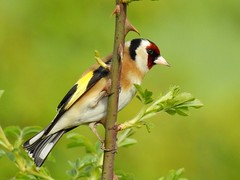Goldfinch (PhotoLoonie) Tags: bird wildbird nature wildlife avian goldfinch