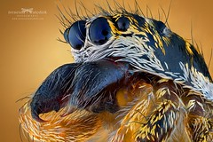 Salticus scenicus. (Ireneusz Irass Waledzik) Tags: macro irass ireneusz waledzik mitutoyomplanapo10x mitu microscope mitutoyo jumpingspider spider head zerenestacker wemacro raynox150 macrophotography salticus scenicus extreme 10x eye nikon nationalgeographic nature nikond750