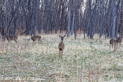 Ladies In The Woods (dcstep) Tags: canon5dsr ef100400mmf4556lisii aurora colorado unitedstates us f4a8386dxo cherrycreekstatepark handheld allrightsreserved copyright2016davidcstephens dxoopticspro1131 nature urban urbannature sanctuary deer doe whitetaildeer woods five