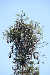 DSC (842) (wanderamore) Tags: srilanka botanicalgardens peradeniya flyingfox