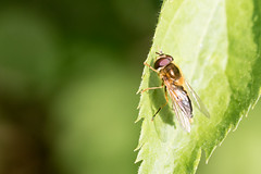 Epistrophe eligans / Enkele-bandzweefvlieg (peter.lindenburg) Tags: groessen syrphidae hoverfly zweefvlieg epistropheeligans enkelebandzweefvlieg