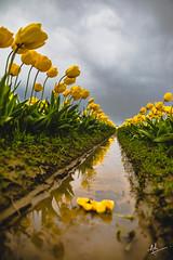 Grief. (ashpmk) Tags: tulips tulip tulipfestival skagitvalley flowers flower reflections reflection garden sky washingtonstate spring