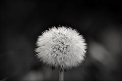 Macro Monday-Intentional Blur (franciska_bosnjak) Tags: macromonday intentionalblur dandelion blakandwhite drops