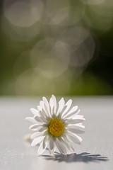 *SUN*day afternoon (thunderbird-72) Tags: spring sigmaex28105dgmacronafdoshsm flower blume frühling gänseblümchen sonnenlicht light makro grün fleur macro schatten sonnenschein backlight sunlight lumière licht gänseblümchenbellisperennis nikond7100