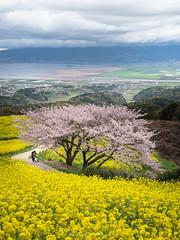 Under the cherry blossoms (Tomohiro Urakawa) Tags: cherryblossoms nagasaki shirakimine 桜 菜の花 長崎 白木峰