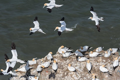 DSC_3614 (Adrian Royle) Tags: yorkshire flamborough bemptoncliffsrspb rspb nature wildlife bird birds gannet gannets seabirds sea cliff coast colony flying wings feathers nikon