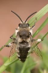 Bee (Patrícia. Ferreira) Tags: hymeniptera apidae bee macro kenko tc 14x pro 300 dgx extension tube 31mm metz 52 af1