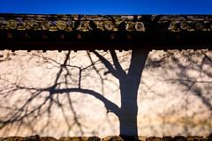 Shadows of Trees (Pai Shih) Tags: trees 京都 nature temple shadow sky 日本 wall kyoto japan blue