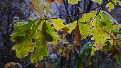 Oak (Quercus sp.), The Hermitage, Dunkeld (Niall Corbet) Tags: scotland perthshire dunkeld hermitage nts nationaltrustforscotland autumn leaf oak quercus
