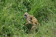 baboon (Cybergabi) Tags: tanzania africa 2016 baboons safari
