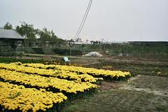 Bat Trang (InSoManyWords) Tags: film 35mm fujisuperia200 fujifilm hanoi vietnam battrang flowers
