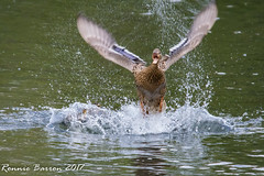 get off my ducklings! (RCB4J) Tags: guvs garscubeestate nature rcb4j ronniebarron scotland sigma150500mmf563dgoshsm sonyilca77m2 universityofglasgow art photography riverkelvin wildlife mallard ducklings anasplatyrhynchos