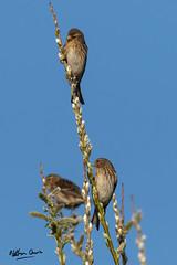 A flock of Twite near Cockerham Sands (NDSD) Tags: cockerham lancashire coast sky blue birds birding flock group tweet birdsong sand sands england north rspb carduelis flavirostris