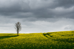 One tree in spring (gernot.glaeser) Tags: colours flowers landscape naturallight nature seasons sky spring trees weather yellow deu europe 365project germany nikon project365 lowersaxony niedersachsen