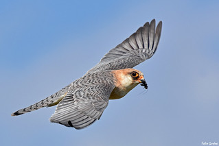 Falco cuculo - Red footed falcon