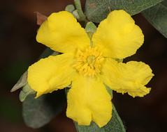 Hibbertia ovata (Jenny Thynne - trying to catch up) Tags: plant australiannativeplant flower brisbane australia queensland hibbertia ovata yellow