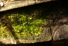 Moss (Aquarelle Wolf) Tags: moss photo photograph photography macro wood
