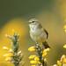 Willow Warbler ... Explore 26-4-17 #103 (Jim Crozier) Tags: willowwarbler2642017