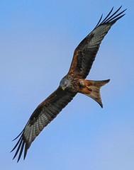 Red Kite (xDigital-Dreamsx) Tags: red kite bird birdofprey raptor nature wildlife flight