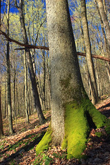 Spring Leaf-Out (6) (Nicholas_T) Tags: pennsylvania clintoncounty waynetownship zindelpark trees forest deciduous temperatedeciduousforest trunk moss slope spring nature creativecommons
