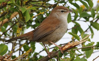 Cetti's Warbler 270417 (12)