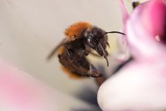 "Rotpelzige Sandbiene in einer Tulpenblüte - Tawny mining bee, ""Andrena fulva"", in a tulip blossom (riesebusch) Tags: berlin garten marzahn"