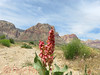 Flowers in the Desert #2 (Pete Foley) Tags: whyimovedtovegas lasvegas nevada redrock redrocknationalrecreationarea desertblooms wildflowers desertflowers firstcreek landscape flickrsbest overtheexcellence littlestories picswithsoul
