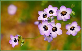 Purple Gilia