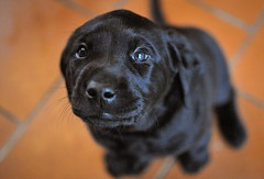 170428-Bluebellwoodsandpuppies (103)-1ps (Mphotograph) Tags: puppies labrador labradorlitter puppylitter photo nikon spring