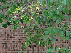 Tree Leaves And A Brick Wall. (dccradio) Tags: lumberton nc northcarolina robesoncounty outside outdoors greenery leaves leaf plant nature foliage bricks brickwall wall treelimbs treebranches sticks