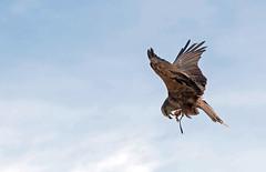 Faucon Gerfaut (G. Regisser Photographie) Tags: volerie des aigles kintzheim canon 5d mark iii 70 200 f28 is ii alsace plumes