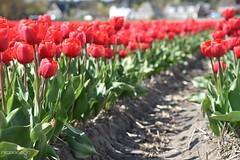 DSC_1754 (nicoooooh) Tags: tulips tulpen flower flowers flowerfields tulipfields holland