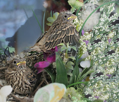 Fledging (Lori Garske) Tags: two birds nest housefinch fledge lorigarske