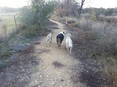 Enjoying a  dog walk (Rayya The Vet) Tags: dog pets goldenretriever vet canine australianshepherd whippetcross
