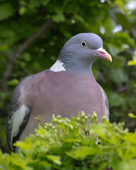 Wood Pigeon (DougRobertson) Tags: pigeon rspb woodpigeon supershot avianexcellence