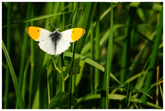 Orange Tip Butterfly. (vegetus aer) Tags: orange butterfly tip cambridgeshire wildlifetrust woodwaltonfen nnr greatfen greatfenproject bcnwildlifetrust