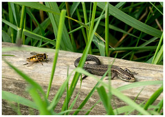 Lizard And Hoverfly. (vegetus aer) Tags: lizard cambridgeshire wildlifetrust woodwaltonfen nnr greatfen greatfenproject bcnwildlifetrust