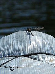 One of my many... (Magic Toy Missing) Tags: dragonfly michigan ausableriver