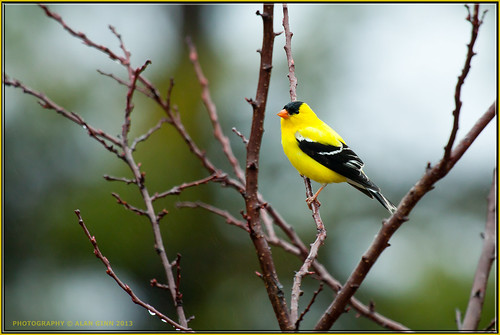 North American Goldfinch 2013