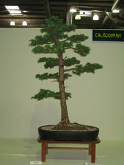 Larch (Bonsaigirl) Tags: scotland display gardening bonsai caledonian 2013