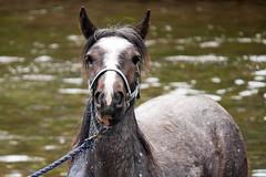 Appleby '13 (ERH3006) Tags: horse river fair traveller gypsy appleby foal romany