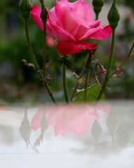 Rose and Reflection (late2lense) Tags: pink rose reflections foliage rosebuds
