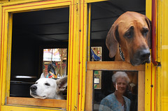 Four Observers (offroadsound) Tags: two dogs yellow jaune duo amarillo gelb dos eyebrow perros due zwei hunde observers chiens dwa beobachter augenbraue