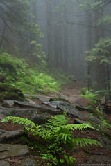 Foggy forest (Anton_ua) Tags: old travel summer plants mist fern tree green tourism nature rock fog stone mystery pine forest landscape outdoors leaf woods nobody foliage shade backgrounds wilderness root scenics locations carpathian