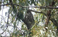 Barking Owl (Ninox connivens) (Sionnach Skye) Tags: owl hawkowl australianbirds australiananimals australianwildlife barkingowl