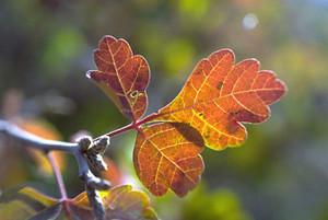 Photo - Three-leaf Sumac or Skunkbush