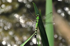 green and beautiful (christiaan_25) Tags: iris green nature water female reflections insect leaf wings adult dragonfly bokeh sparkle perch skimmer odonata libellulidae anisoptera easternpondhawk erythemissimplicicollis commonpondhawk