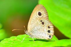 The Argus Rings /  (Dakiny) Tags: summer nature animal animals japan butterfly insect landscape july yokohama     grayling  satoyama     jige 2013 rurallandscape     aobaku     2013  jigecho argusrings jigefurusatovillage
