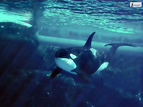 Animal Pictures Orca Wallpapers Hd Photos Killer Whales